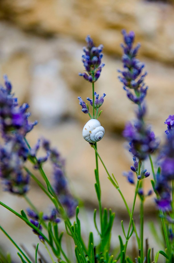 A snail making it's home in the lavender fields.